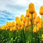 Ảnh đẹp hoa Tulip