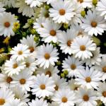 Hình nền đẹp hoa cúc