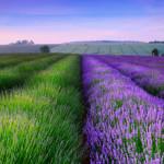 Bộ hình nền hoa lavender