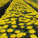 Làng hoa Tây Tựu – địa điểm chụp ảnh đẹp ở Hà Nội