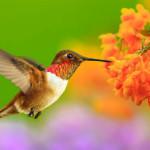 Ảnh đẹp loài chim ruồi