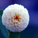 Bộ hình nền hoa thược dược